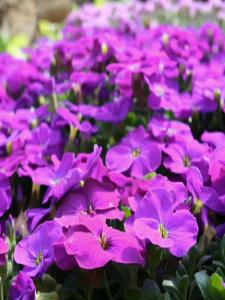 Aubrieta Gracilis Blue (0000078068100)