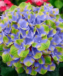 Magical Hortensia Blue (8719486014549)
